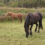 Black horse eating grass with brown horse in the background